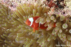 Orange Clown Fish (eddywongch) Tags: indonesia underwater scuba olympus clownfish anemone inon sp350 rajaampat seaseays110 msyseahorse