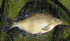 Bream, common, Abramis brama (AlanBut) Tags: uk lake fish river freshwater fishspeciesgroup abramis abramisbrama breamcommon