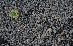 Bejeque en picón LZ (lanzarote rural) Tags: españa naturaleza verde planta rural gris spain natural negro lanzarote canarias arena silvestre canaryislands ceniza islascanarias aeonium picón rofe aeoniumlancerottense bejeque arenado enarenado