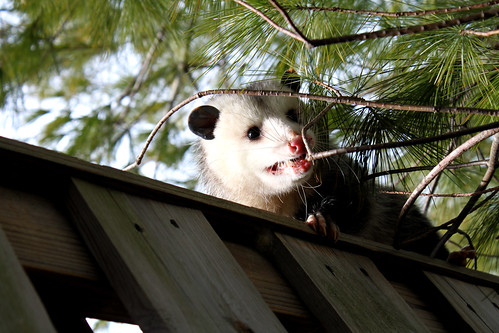 opossum encounter 11710 (8)
