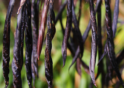 Flax seedpods