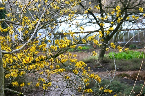 Witch hazel blooms in winter
