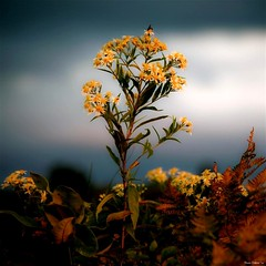 Aster d'automne...!!! (Denis Collette...!!!) Tags: autumn wild 3 canada flower fleur automne river photo quebec photos 7 rivire safari qubec rivers sensational walden collette brava photosafari denis aster sauvages thoreau sauvage ourtime rivires portneuf wildrivers wildriver objectiveart flickrsbest kartpostal topseven deniscollette pontrouge frhwofavs riviresauvage world100f thesuperbmasterpiece natureselegantshots bestofflickrsbest photoshopcreativo paololivornosfriends goldenart riviressauvages photossafari saariysqualitypictures fotografaglobal redmatrix magicunicornverybest magicunicornmasterpiece