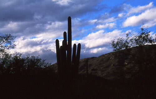 Saguaro silhouetted at sunset