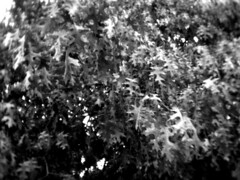 Leaves, B&W