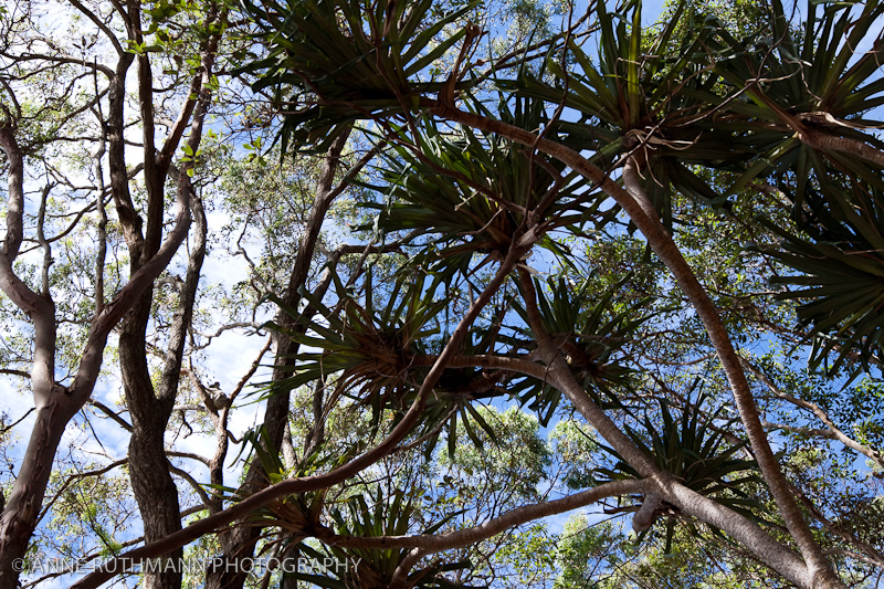 Wild Koala in Trees