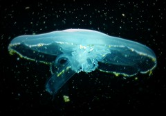 floating and floating to the surface coming from another world (GlossyEye.) Tags: world ocean travel sea water animal night dance dangerous jellyfish dancing outdoor scuba diving snorkeling marinebiology diver poison delicate medusa vacations intrigue margaritaisland aguamala