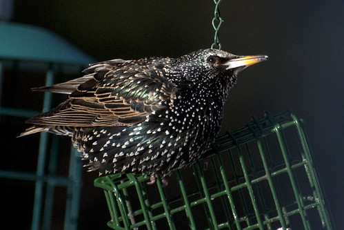 Starling suet