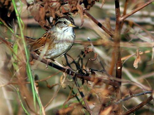 Swamp Sparrow 2-20100204