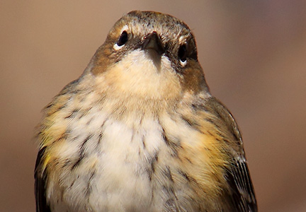 yellow-rumped warbler - inquisitive