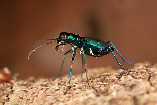 most easier tiger beetle