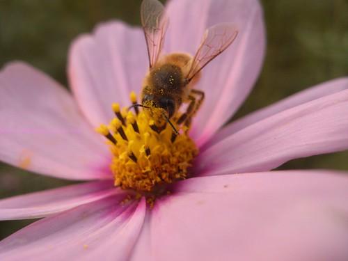 katharine娃娃 拍攝的 18波斯菊上採蜜的蜜蜂。