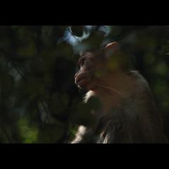 (sash/ slash) Tags: travel monkey wildlife sash sajesh
