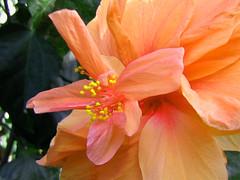 6499 (joelv_ph) Tags: flowers hibiscus hibiscuswonder