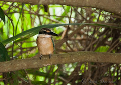 Sacred Kingfisher 1302 A (stan_dea) Tags: bird nature sony australian kingfisher a700