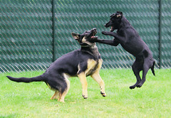 Wild play (sjaradona) Tags: dog black dogs labrador 2009 kangoo