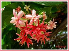 Closeup of flower clusters: Quisqualis indica 'Double' (Rangoon Creeper, Burma Creeper, Chinese Honeysuckle)