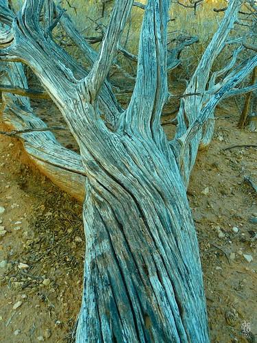 Fallen tree, West Odessa Texas