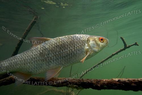 Gardon (Rutilus rutilus) malade dans le Gour de Tazenat (Puy-de-