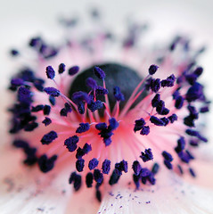Powdered Ink (Demoiselle Libellule) Tags: flower macro fleur closeup ink purple powder anemone stamen stamina staubbltter