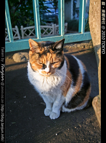 貓。東鄉神社 @ 2010 TOKYO
