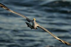Brown-Pelican (madglads) Tags: bird flight lajolla pelican brownpelican natureocean flickrdiamond