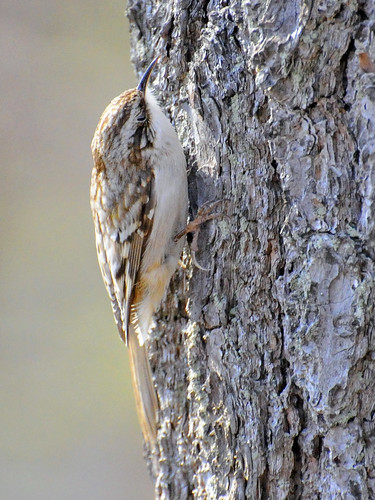 brown creeper sudbury river 2