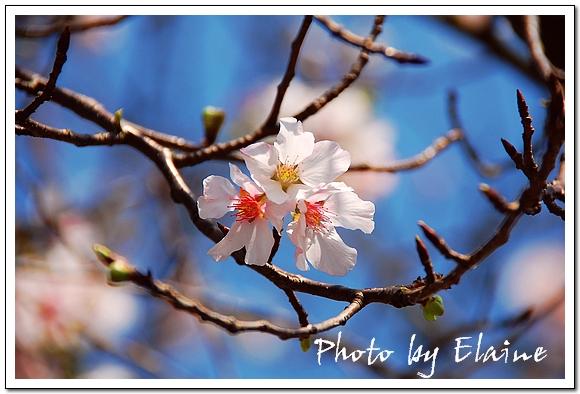 天元宮櫻花