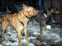 1918 Dog Team just arrived at Gay, MI,  CopperDog 150 (darylann) Tags: usa snow dogs photography team michigan racing sledding northamerica races dogsledding sleddogs calumet dogsled coppercountry sleddogteam sleddograces darylann darylannanderson copperdog150