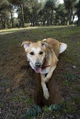 Prospección (Rafaelus) Tags: dog perro dig perra hoyo cavar