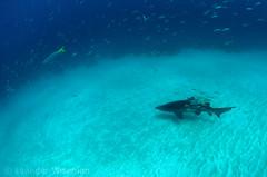 Grey Nurse Shark @ Bowen Island (lndr) Tags: photography underwater australia nsw bowenisland act jervisbay carchariastaurus greynurseshark leanderwiseman