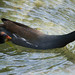 Antillean Common Moorhen