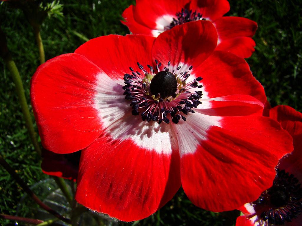 DSC04783 anemone sooc