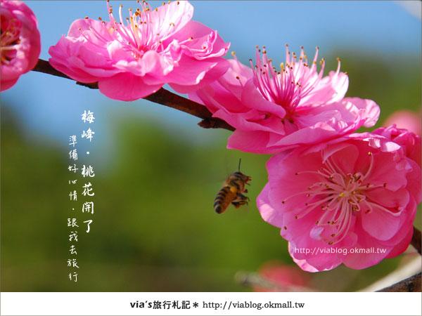 【梅峰農場桃花緣】最美的桃花隧道,就在南投梅峰這裡~(上)8