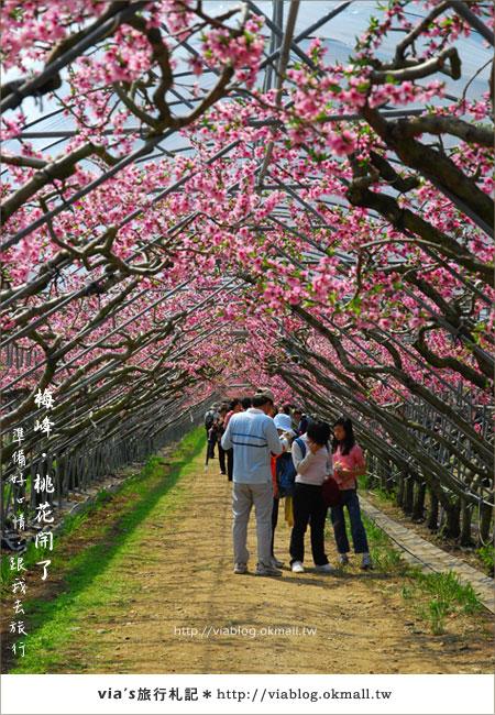【梅峰農場桃花緣】最美的桃花隧道,就在南投梅峰這裡~(上)17