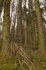 FiveTrees (Leathanach) Tags: trees forest woodland moss highlands nikon branches bark scrub rogie recession d700 landscapesshotinportraitformat clanflickr rogieforest