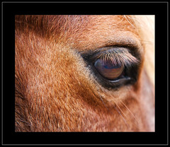 horses eye (SFB579 Namaste) Tags: horse macro eye hair close eyelashes skin coat sigma chestnut wakefield f28 pupil lash equine outwood animnal