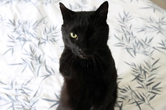 Three Legged Black Cat