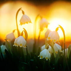 Sunrise Talks (lichtmaedel) Tags: flowers sunrise spring 85mm daffodil 402 helios f15 narcissuspseudonarcissus frhblher mrzenbecher