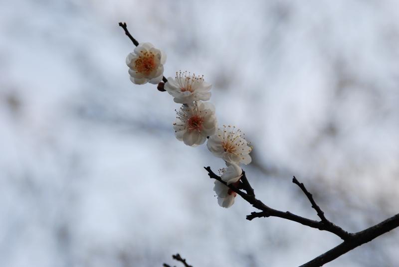 cherry-blossom-800