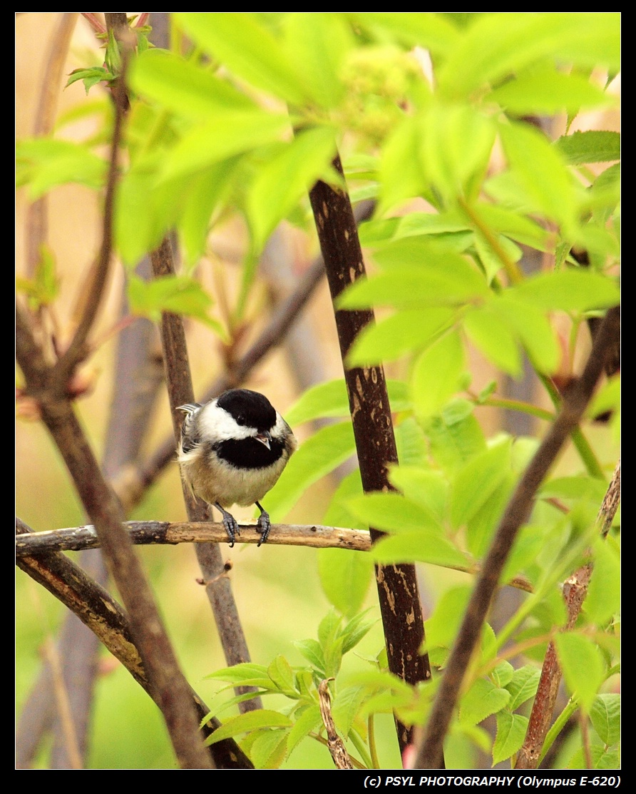 Black-capped Chickadee enjoying seed