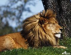 The Lion King (Explored) (ZiZLoSs) Tags: animal canon eos orlando florida kingdom explore usm aziz thelionking abdulaziz عبدالعزيز explored f56l ef400mmf56lusm 450d zizloss المنيع canoneos450d ef400mm 3aziz almanie abdulazizalmanie