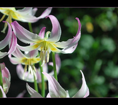 Happy Easter..... (TLPhotography66 ~) Tags: flowers shadow flower macro nature beauty spring nikon shadows purple lavender bloom glowing wildflowers wildflower blooming macrophotography d60 erythroniumamericanum sunshadows fawnlily fawnlilies perfectpurplesaturday tlphotography