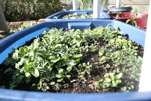 Mixed Greens in a Container Garden - 90/365