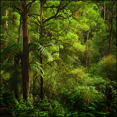 The World is  Full.... (Raja Daja) Tags: wild water rain rainforest natural oz australia super before richness eco abundance climate climax gippsland rajadaja pfemerald primevalforestgroups pffern