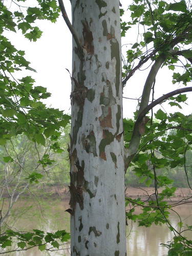 Foraging texas sycamore tree sycamorebark sciox Choice Image