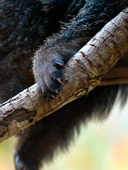 Binturong Claws (aeschylus18917) Tags: nature thailand foot zoo paw nikon toes wildlife chiangmai claws edit bearcat binturong asianbearcat arctictisbinturong 80400mm carnivora 80400mmf4556dvr chiangmaizoo   prehensiletail viverridae d700 80400mmf4556vr arctictis  ratchaanachakthai nikond700 paradoxurinae danielruyle aeschylus18917 danruyle druyle