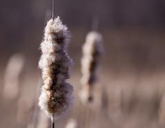 Cattail DoF (Mary Susan Smith) Tags: spring beige dof ottawa cattails superhero sidelit bigmomma merbleue challengeyouwinner cychallengewinner thechallengefactory tcfwinner herowinner pregamewinner