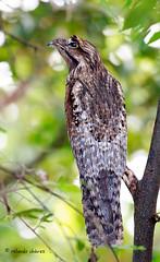 Potoo Forever (rolando chdm) Tags: avestabasco avesvillahermosa villahermosa tabasco mexico aves birds neotropics lagunadelasilusiones northernpotoo nyctibiusjamaicensis pájaroestacanorteño