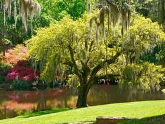 Gardens (desbah) Tags: sc gardens azaleas southcarolina charleston plantation spanishmoss middletonplace